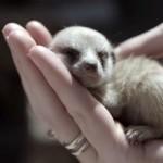 手の平にすっぽり!生まれて間もないミーアキャットが悶絶にかわいい!