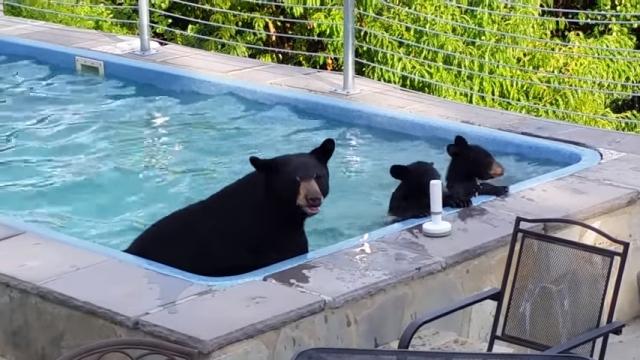 「ちょっとお邪魔してますよ^^」・・・ 自宅のプールに遊びに来たクマ親子