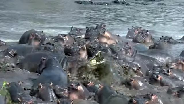沼地で30頭余りのカバの群れと遭遇、絶体絶命の危機に追い込まれるワニ