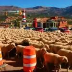道路を埋め尽くヒツジの群れ・・・米国・ユタ州の驚きの光景