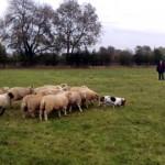 世界で最も牧羊犬らしくないバセットハウンド犬が愛らしい!