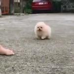 飼い主を追いかける小さなポメラニアンが可愛すぎ!