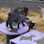 ぴょんぴょん飛び跳ねて遊ぶ赤ちゃんヤギたちが面白かわいい!