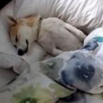 病院へ行くのが嫌でタヌキ寝入りを決め込む柴犬(笑)