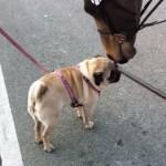 初対面のパグと馬・・・お友達になりたいワン!