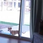 家に入りたくて、閉じたガラス扉に果敢にアタックするワンコ