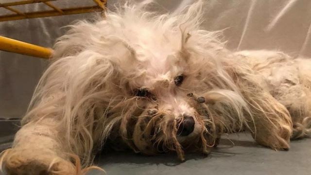 ボロ雑巾のような毛皮で覆われた野良犬を保護。毛皮をカットすると愛らしい表情を見せてくれた