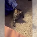 飼い主の手の動きを模写するモノマネ上手な猫