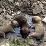 タールに貼り付いて身動きできず、悲痛な鳴き声をあげる3匹の子犬たちを救出
