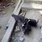 子犬たちに付き纏われて迷惑そうな猫