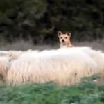 ヒツジを追う気がまったくない牧羊犬・・・余裕ありすぎ!