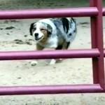柵をくぐり抜ける方法が予想外でカッコいい牧羊犬