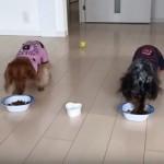 犬兄弟と並んでご飯を食べたくて、とことこ走ってくるインコが可愛すぎ!