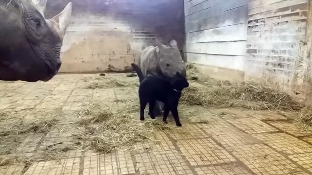 サイの赤ちゃんに擦り寄るニャンコ。ママサイが見ているのに気付くと・・・