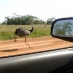 時速50キロ以上のスピードで走るダチョウを車で並走しながら捉えた映像