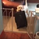 飼い主が旅行に出掛けると察して、全力で阻止する健気なラブラドール