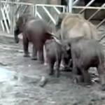 イギリスの動物園で年老いた象が予想外のアクシデントに遭遇!?