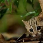 森を探索する世界最小の猫、サビイロネコの様子を捉えた映像