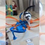目が回るにゃ!?|高速で走り回るホットウィールに翻弄される猫