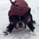 凍てついた歩道を嫌々散歩するフレンチブルドッグ