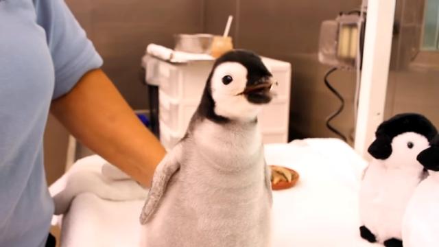 ぬいぐるみよりも断然可愛いコウテイペンギンの赤ちゃん