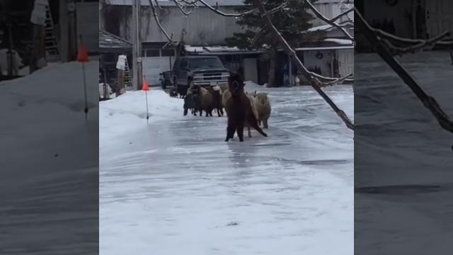 アルパカを先頭に凍った道路の上を走る、滑る、転ぶ羊とヤギの軍団がおもしろい!