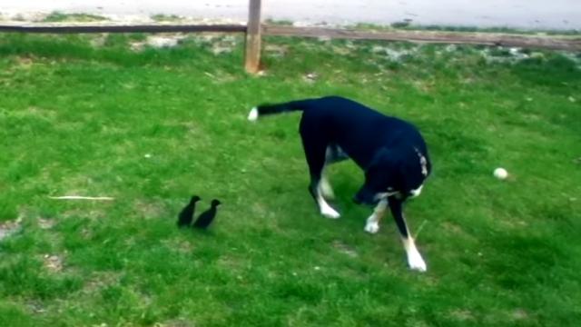 子ガモに母親認定されてしまい、付き纏われて困惑気味の犬