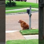 メールボックスの前に座り郵便屋さんの到着を待ちわびるゴールデンレトリバー