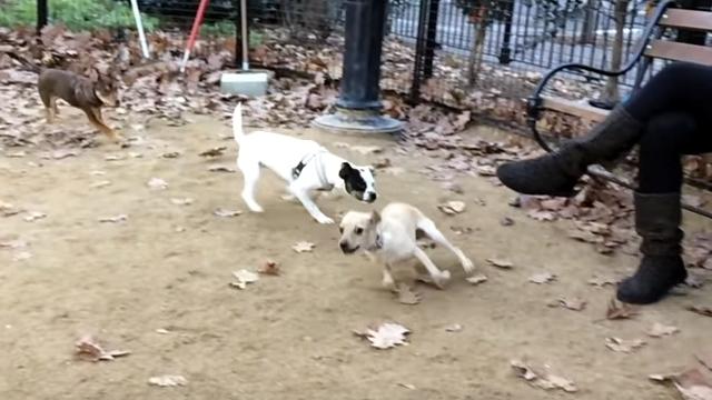 誰にも負けない圧倒的なスピードで仲間から逃げ回る小型犬がスゴイ!