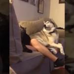 ネコばかり可愛がる飼い主に焼餅を焼くハスキー犬