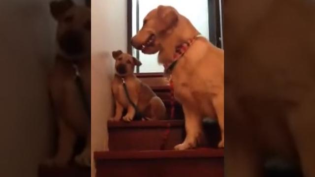 階段を怖がる子犬を叱咤激励する母犬、時には優しく時には厳しく・・・