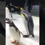 遊び心のある、シャボン玉の扱いがとっても上手なオオサマペンギン