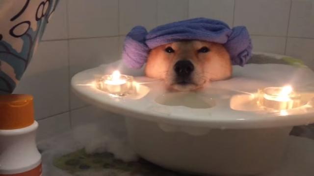 泡風呂で究極のリラクゼーションを満喫する柴犬