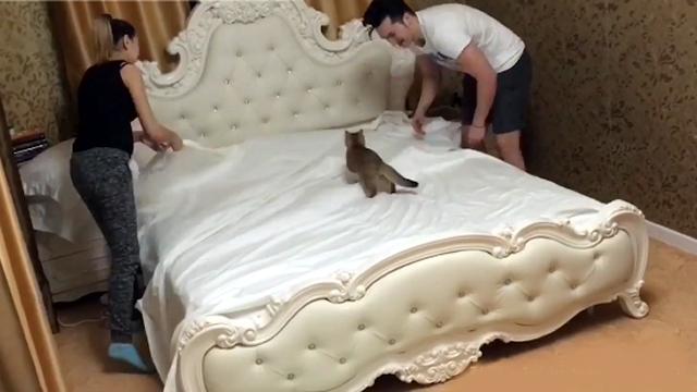「お手伝いするニャー」・・・猫が居るとベッドのシーツ交換がこんなにも大変だとは