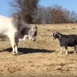 大きな牛と睨み合う負けん気の強い小さなヤギ