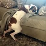 ソファに乗ることを許可されず、上半身だけ乗せて寝ているワンコが面白かわいい!