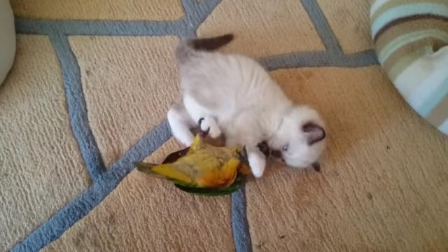 床に寝転がって取っ組み合いをしながら遊ぶ奇妙なインコと子猫