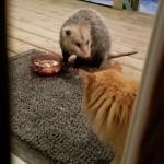 オポッサムにご飯を奪われて飼い主に助けを求める気の弱い猫