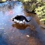 凍りついた池の上で魚を追いかける猫の動きがコミカルで笑える