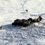 オオカミに襲われたアメリカバイソンのショッキングな結末