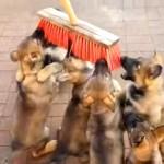 デッキブラシをオモチャにして遊ぶ6匹の子犬たちが可愛い!