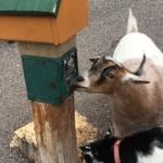エサ販売機の不具合を利用してエサをゲットする賢いヤギ