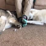 飼い主の足元に横たわる権利を奪い合う2匹のハスキー