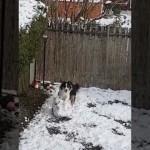 庭に積もった雪で大きな雪玉をこしらえるワンちゃん