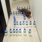 廊下に並べたペットボトルの迷路に挑戦するミニチュアダックスフント