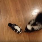 スカンクのおもちゃで遊ぶベビースカンクが可愛すぎ