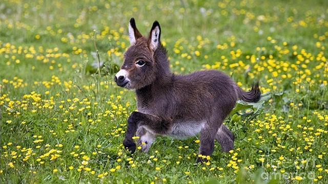 アニメから飛び出したような可愛い赤ちゃんロバの写真 28枚