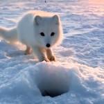 魚を盗み食いしようとする北極キツネと漁師の攻防戦がおもしろい!