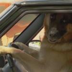 車を運転する賢いワンコのどっきり映像がおもしろい!