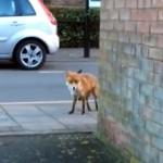 街中で野生のキツネに遭遇した男性、カメラで撮影しようとしたら、とんでもない展開に・・・